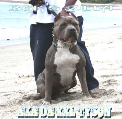 Big Blue Pitbull